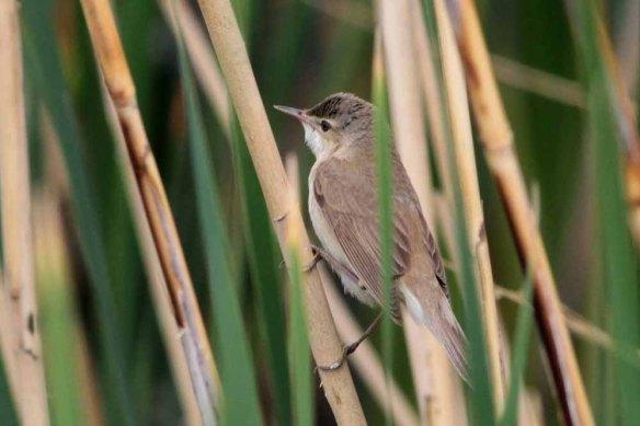 Caspian Reed Warbler (11)