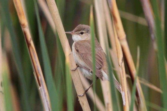 Caspian Reed Warbler (14)