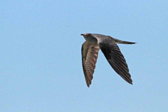 Cuckoo (5)