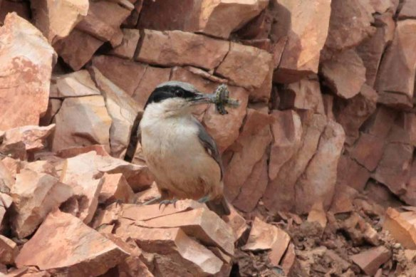Eastern Rock Nuthatch (8)