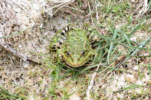 Frog at Lake Sevan (11)