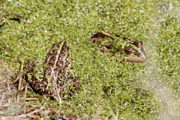 Frog at Lake Sevan (8)