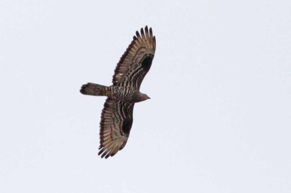 Honey Buzzard (1)