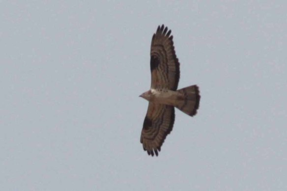 Honey Buzzard (149)