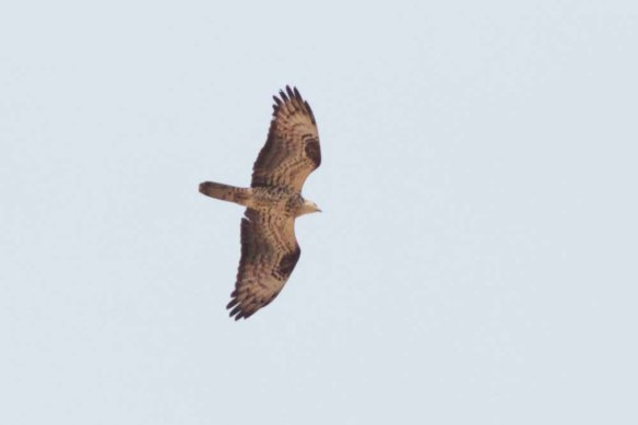 Honey Buzzard (157)