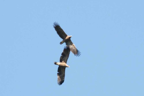 Lesser Spotted Eagle (55)