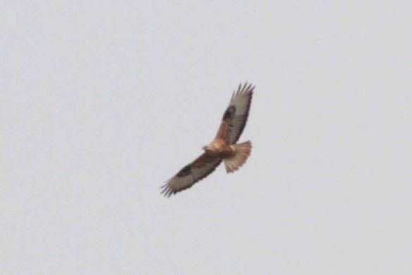 Long-legged Buzzard (11)