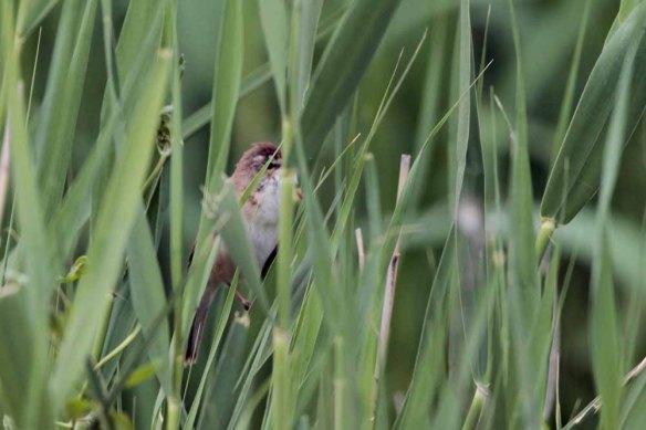 Paddyfield Warbler (2)