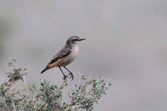 Persian Wheatear (142)
