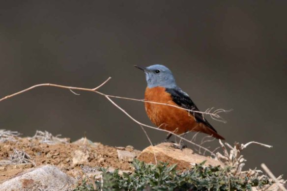 Rufous-tailed Rock Thrush (8)