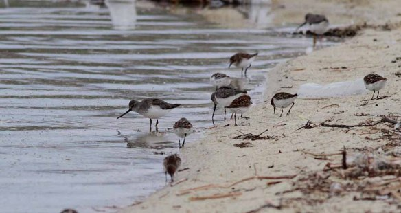 Terek Sandpiper & Little Stint (52)