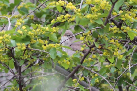 Upcher's Warbler (4)