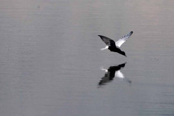 White-winged Black Tern (35)