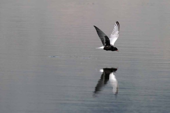 White-winged Black Tern (36)