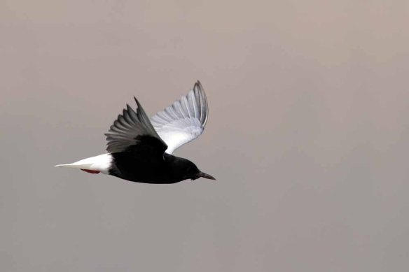 White-winged Black Tern (42)