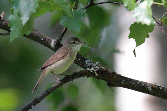 Blyth's Reed Warbler (6)