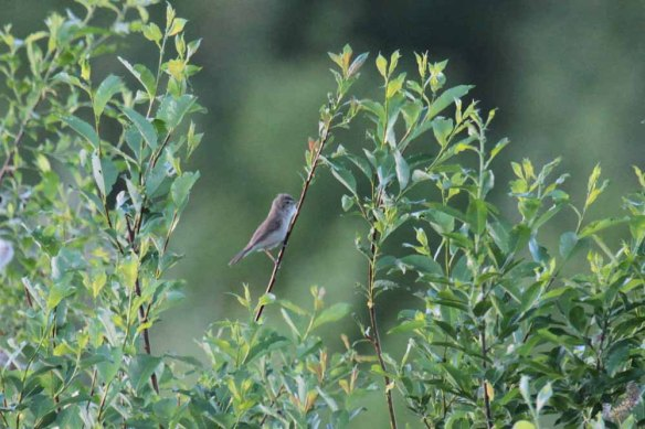 Booted Warbler (20)
