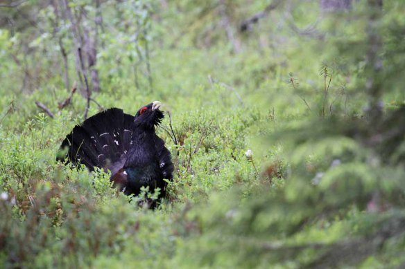 Capercaillie (146)