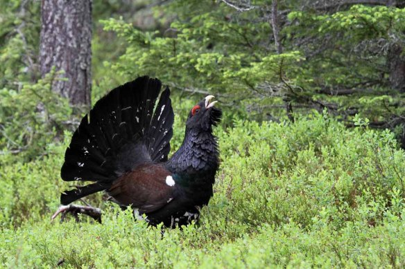 Capercaillie (35)