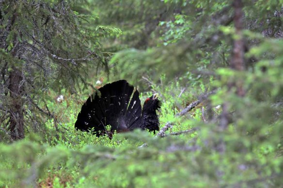 Capercaillie (8)