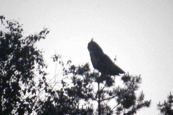 Eagle Owl (5)
