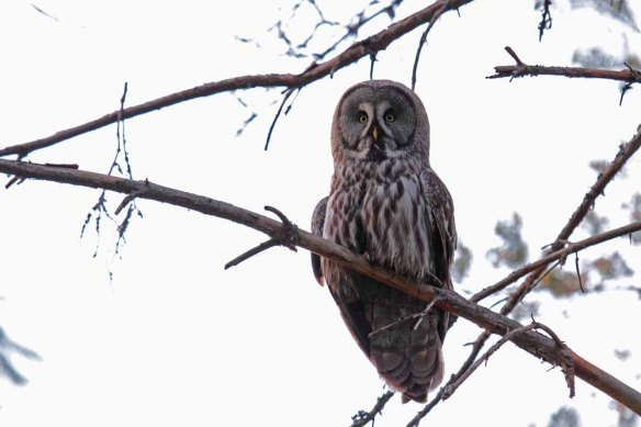 Great Grey Owl (13)