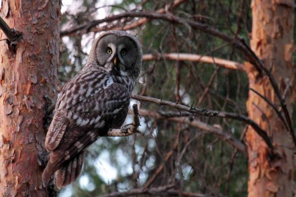 Great Grey Owl (28)