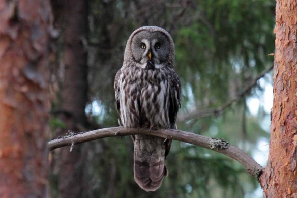 Great Grey Owl (34)