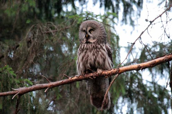 Great Grey Owl (73)