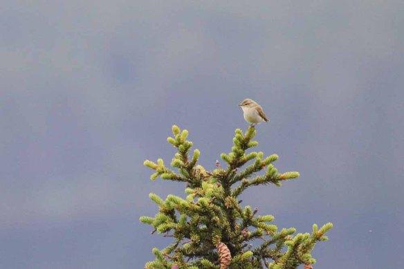 Greenish Warbler (3)