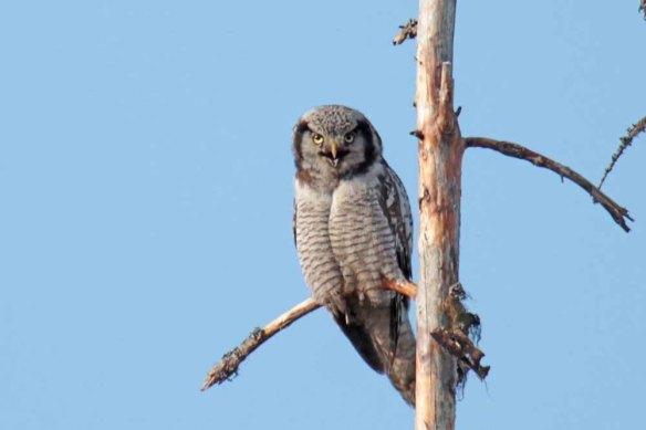 Hawk Owl (48)