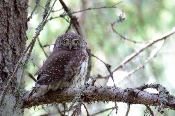 Pygmy Owl (125)