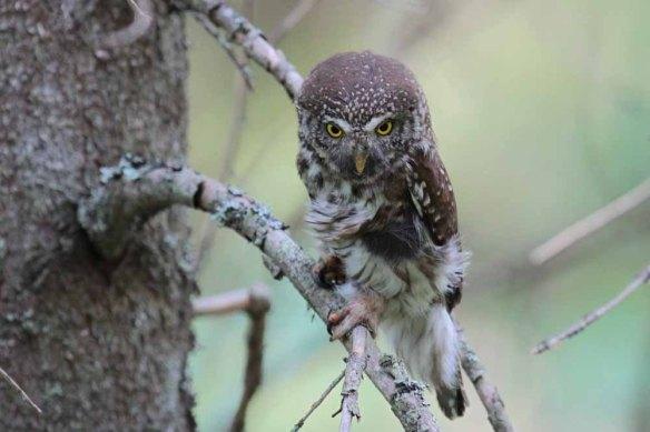 Pygmy Owl (25)