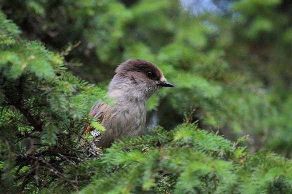 Siberian Jay (71)