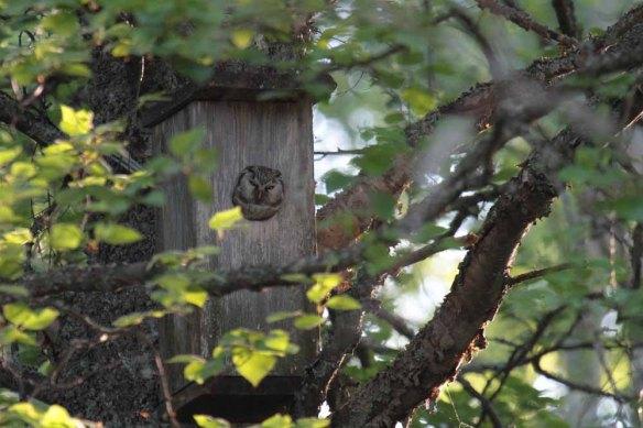 Tengmalm's Owl (16)