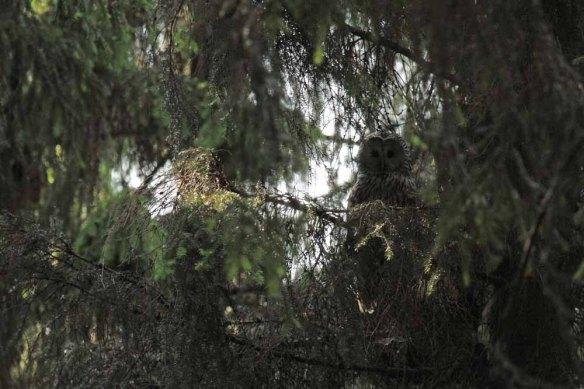 Ural Owl (42)