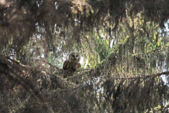 Ural Owl (58)