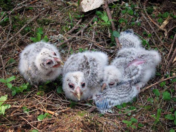 Ural Owl chicks (1)