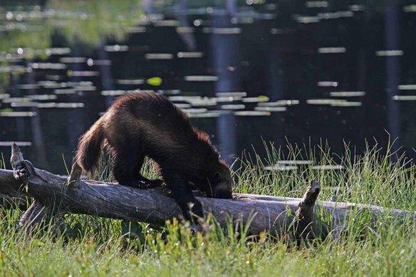 Wolverine (49)