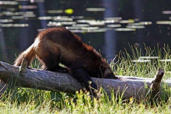 Wolverine (55)