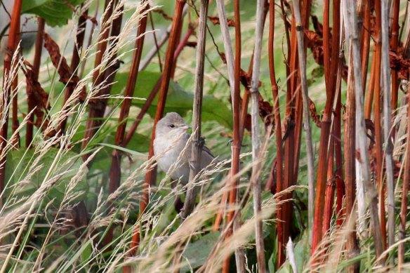 Barred Warbler, Manse (1)