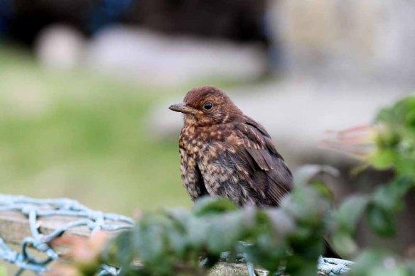 Blackbird (3)