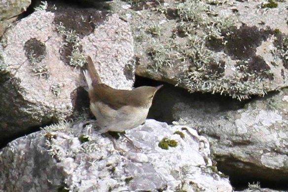 Blyth's Reed Warbler, Ham (19)
