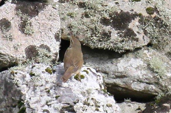 Blyth's Reed Warbler, Ham (22)