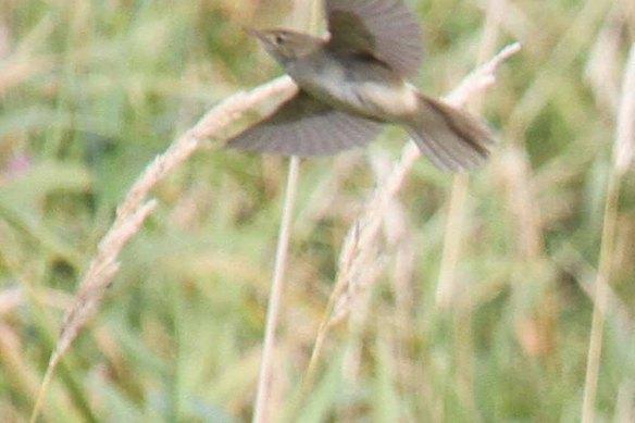 Blyth's Reed Warbler, Ham (46)