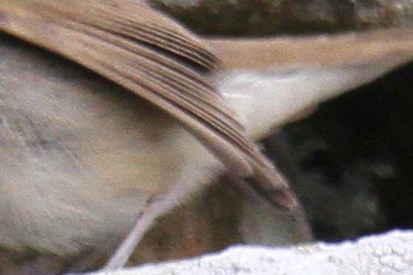 Blyth's Reed Warbler, Ham (48)