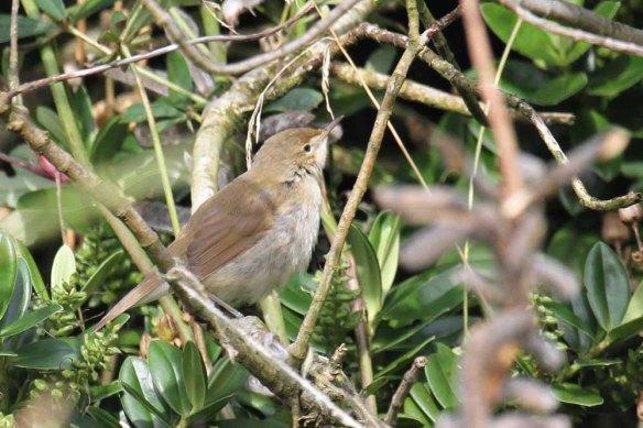 Blyth's Reed Warbler, Ham (73)
