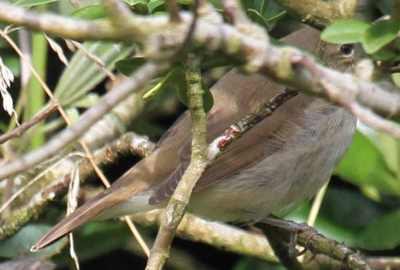 Blyth's Reed Warbler, Ham (76)