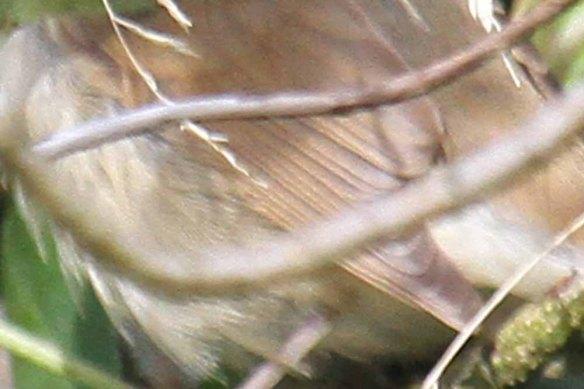 Blyth's Reed Warbler, Ham (82) emarginations