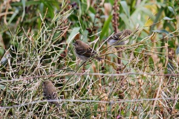 Common Rosefinch (11)